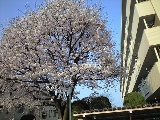 実家の桜.JPG