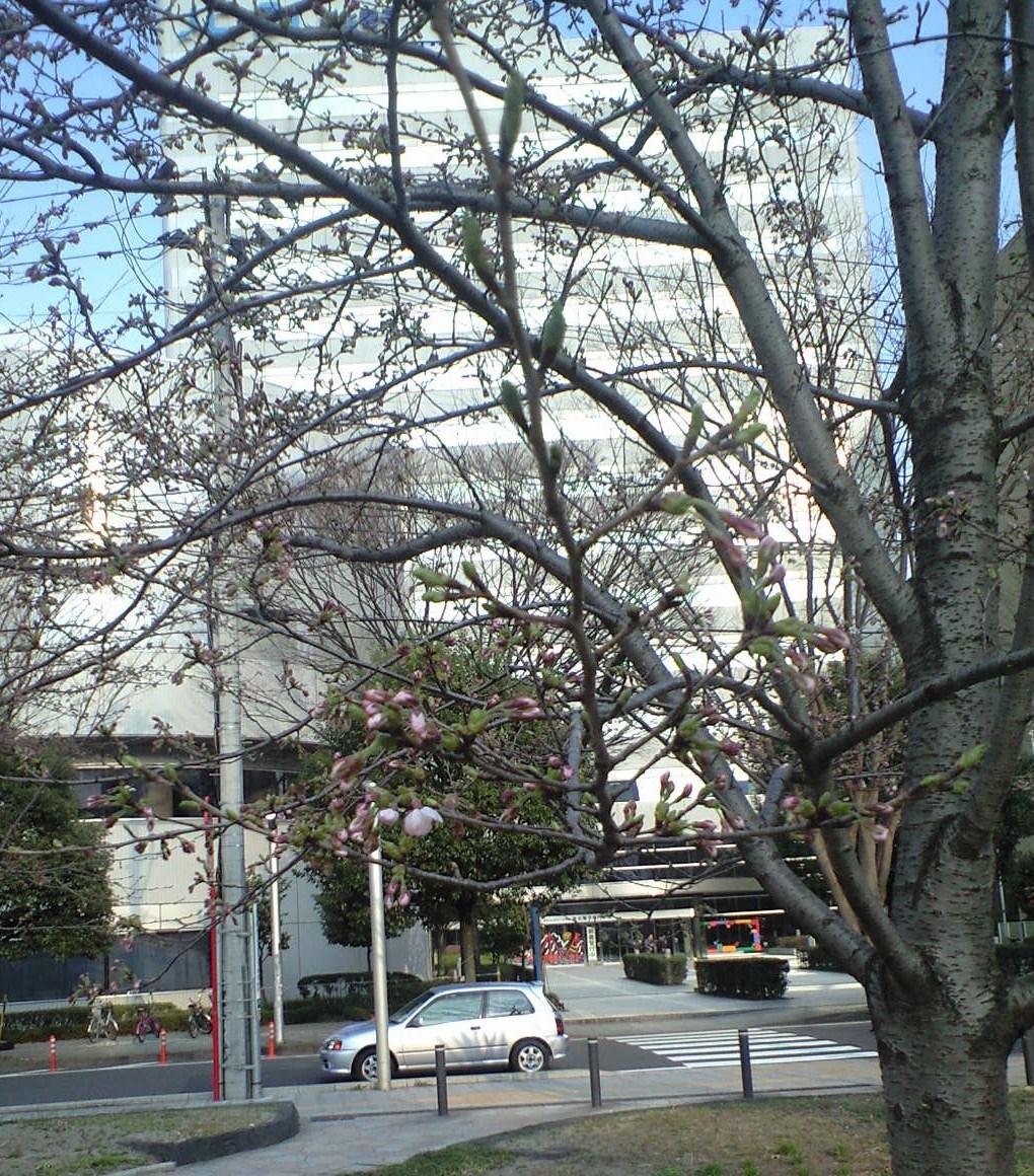 仙台の桜.JPG